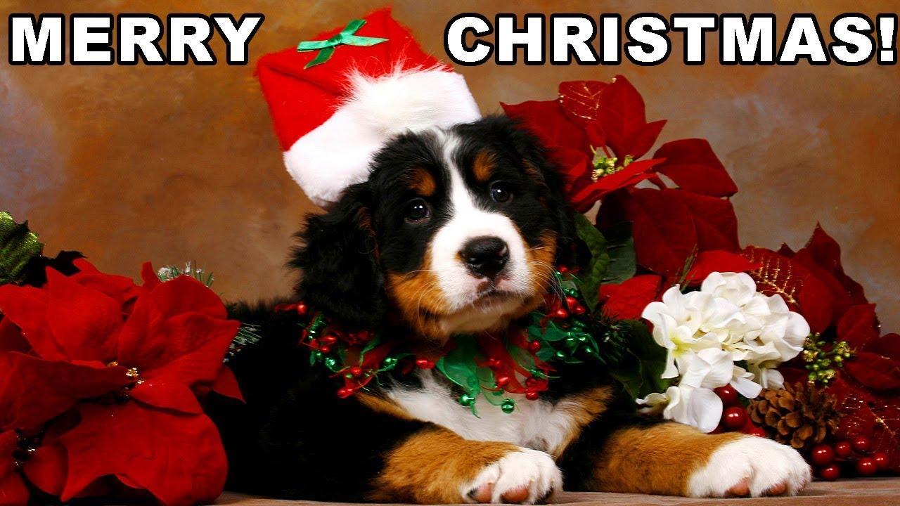 Animated Christmas Desktop Wallpaper Christmas Puppy Surprise Compilation 2017 2018 New