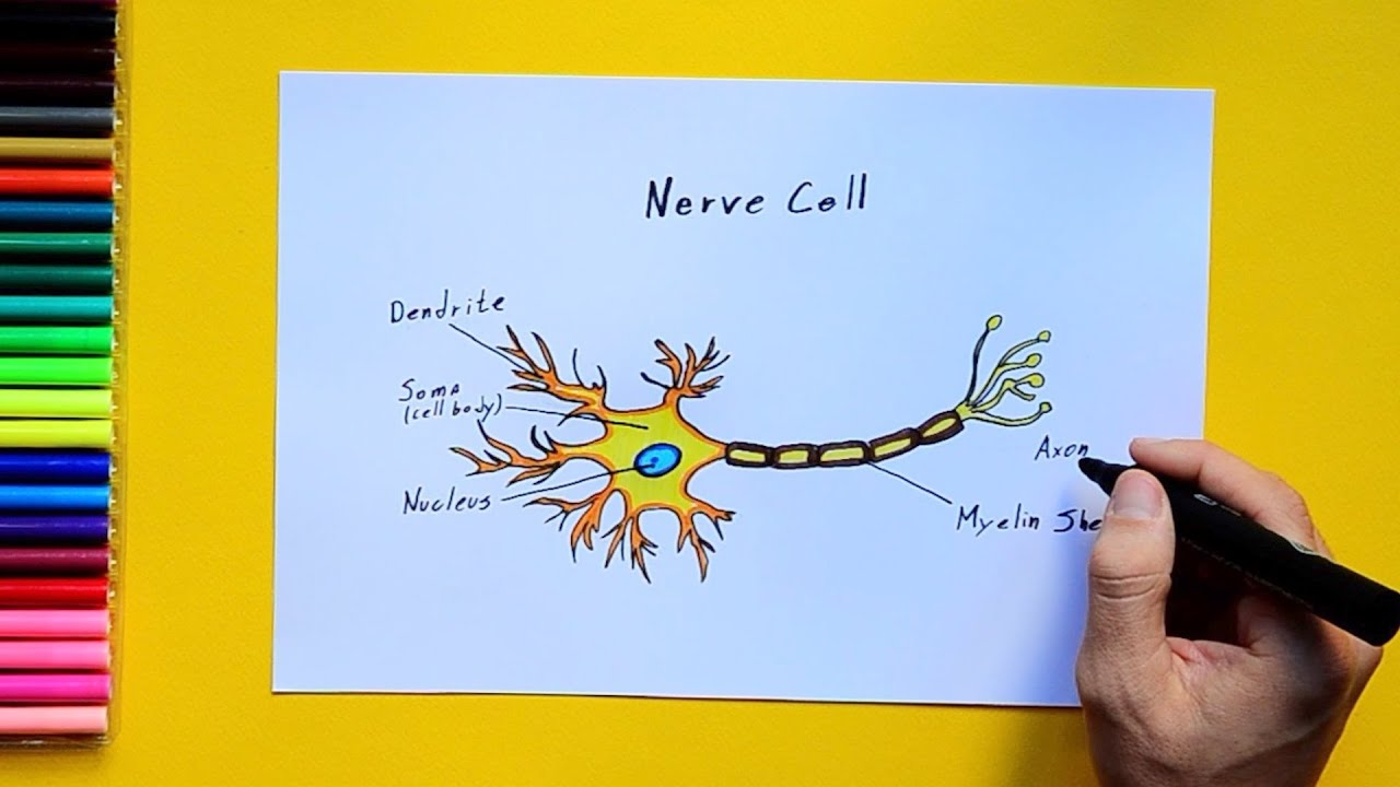 medium resolution of how to draw and color a nerve cell labeled science diagrams