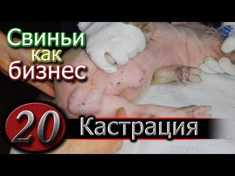 КАСТРАЦИЯ ПОРОСЯТ - ПРОСТО !!!