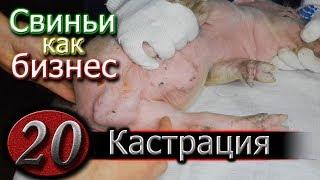 видео: КАСТРАЦИЯ ПОРОСЯТ - ПРОСТО !!!