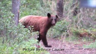 Bear Checking Out Injured Moose In Banff Alberta