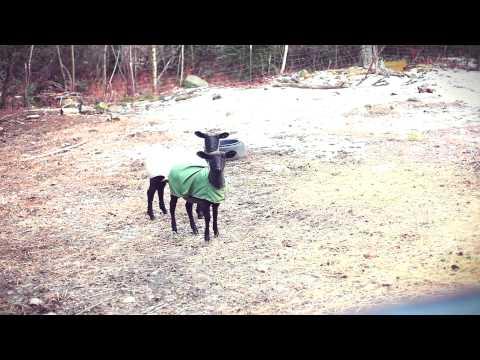 0 2 cabras gritando