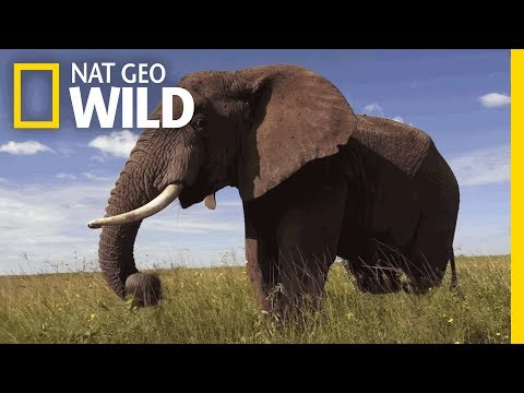Elephants 101 Nat Geo Wild Youtube