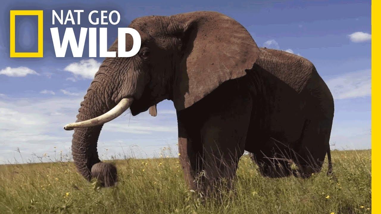 Elephants 101   Nat Geo Wild