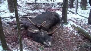 Охота на лося. Зима,  2011 год.