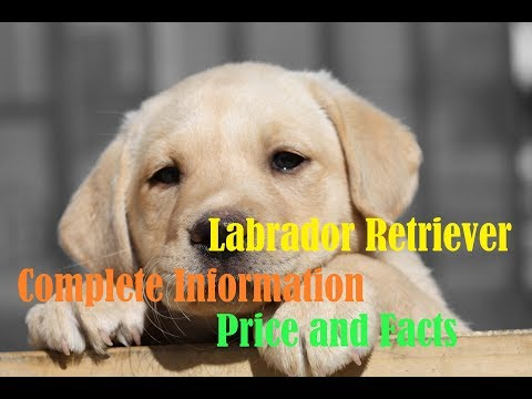 labrador-retriever-price-worldwide/india/nepal-and-some-facts-about-them