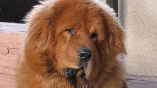 Тибетский Мастиф Галсан 1 год. Tibetan Mastiff 1 year.तिब्बती मास्टिफ। Одесса.