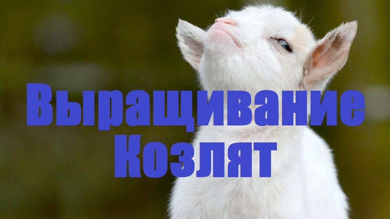 технология выращивания молочных козлят