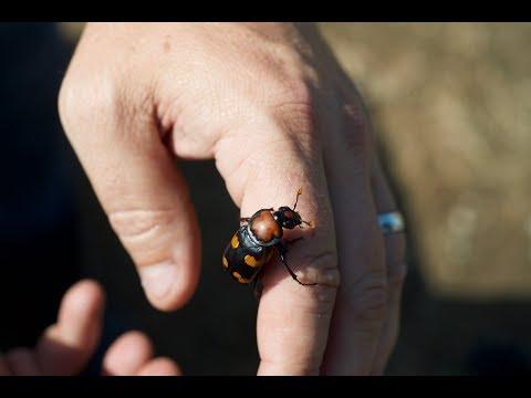 Endangered American Burying Beetle in Oklahoma