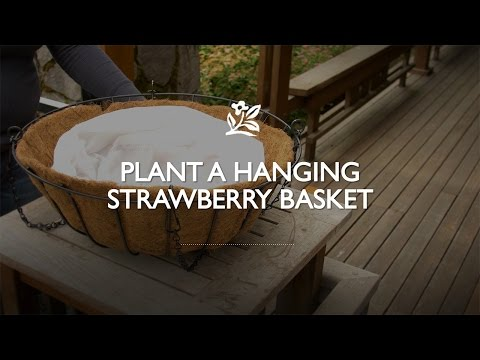 How to Plant a Hanging Strawberry Basket | Monrovia Garden