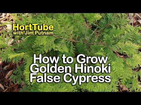 How To Grow Golden Hinoki False Cypress - Home Landscape Planting