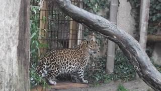 Chinesischer Leopard Julius  und Jilin - Asiatische Elefanten - Zoo Hannover