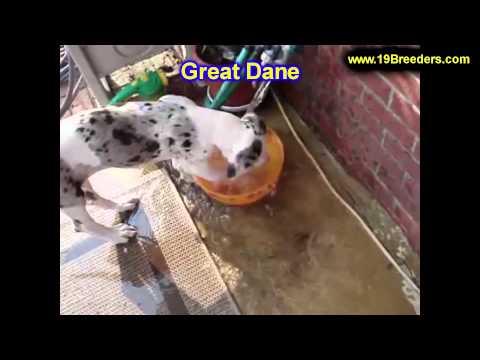 Great Dane, Puppies, For, Sale, In,Omaha ,Nebraska, NE,Lincoln, Bellevue, Grand Island