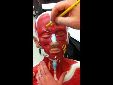 Neck and Facial Muscles