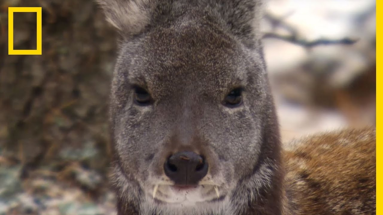 Download Le chevrotain porte-musc, sa tête de kangourou et ses dents de vampire