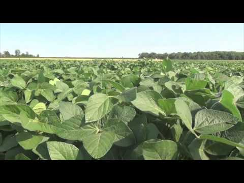 Soybean School   August Makes Yield - Mid Season Tips for a Great Crop