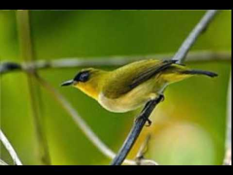 Cara Merangsang Burung Pleci Agar Cepat NGERIWIK