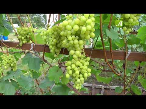 Сорта винограда для Сибири. Часть 2