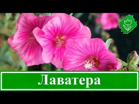 Цветы лаватера – посадка и уход, выращивание лаватеры из семян; лаватера однолетняя и многолетняя