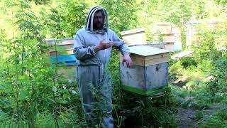 Пчеловодство  породы пчёл.
