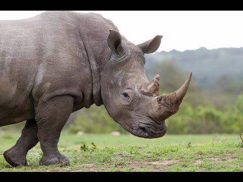 Rhinos at Risk