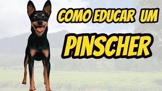 Como adestrar um Pinscher   Aprenda como adestrar um filhote de Pinscher