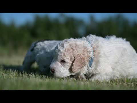 Lagotto Puppies discover Grass!
