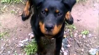 Ninja 5 Month Old Rottweiler Training To Speak