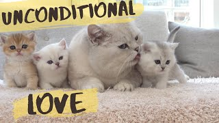 British shorthair cat Apollo hissing and protecting his kittens