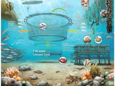 What is Integrated Multi Trophic Aquaculture?
