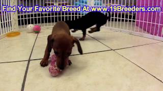 Miniature Dachshund, Puppies, For, Sale, In, Minneapolis, Minnesota, Mn, Inver Grove Heights, Rosevi