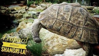 The NEW Leopard Tortoise Habitat RULES!