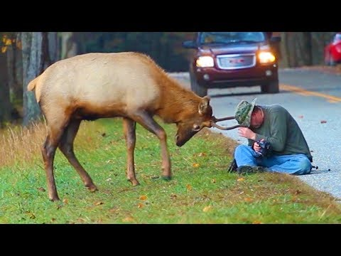 ELK ATTACKS MAN IN USA