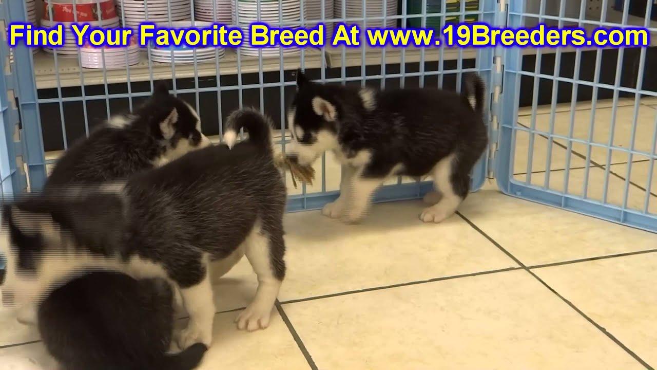 Siberian Husky Puppies For Sale Inomaha Nebraska Nelincoln