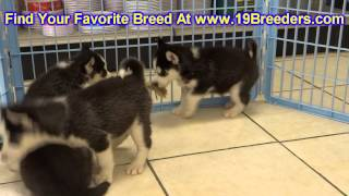 Siberian Husky, Puppies, For, Sale, In,omaha ,nebraska, Ne,lincoln, Bellevue, Grand Island