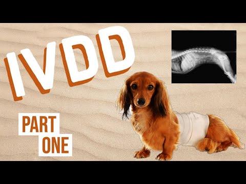 IVDD Part 1 (Intervertebral Disk Disease)
