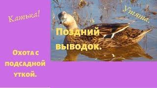 Подсадные утки. Поздний выводок