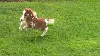 """""""SOLD"""" Miniature horse for sale - Dent Lucky Splasher - 2015 Foal"""
