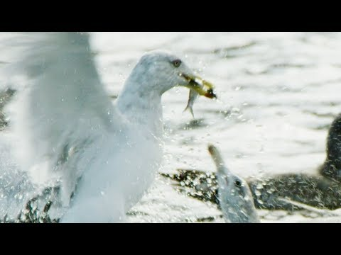Seagulls And Guillemots Collaborating To Fish Herrings | BBC Earth
