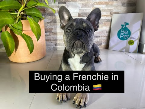 I purchased a Dog in Colombia !! Buying a French Bulldog in a different Country MEDELLIN from YouTube · Duration:  13 minutes 51 seconds