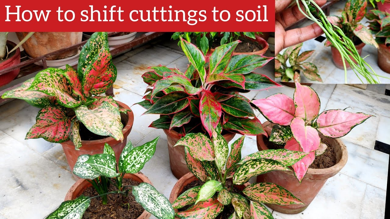 Grow aglaonema from cutting, Aglaonema plant care, how to transplant rooted cuttings to soil 101