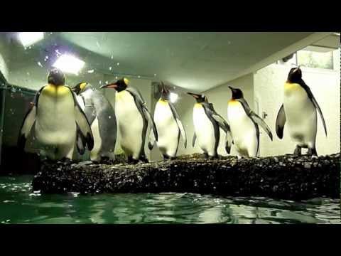 Penguin antics at the  Zürich Zoo
