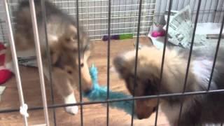 コリーの子犬情報 http://airwoman.if.tv/puppies.html.