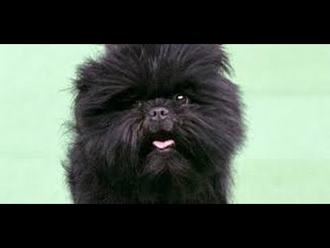 Affenpinscher - America's Top Dog -  Everyone wants an Affenpinscher after Westminster Win