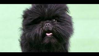 Affenpinscher - America's Top Dog -  Everyone Wants An Affenpinscher After Westminster Win