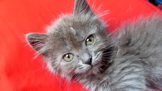 Серый котенок зевает и чихает