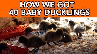 How We Started Raising Baby Ducks