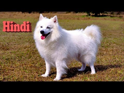 Everything about American Eskimo Dog in Hindi