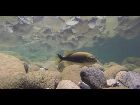 Rio Blanco Underwater Habitat Of Tomocichla Tuba