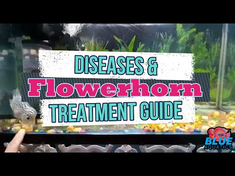 Flowerhorn Fish Diseases And How To Cure Them - A Complete Guide